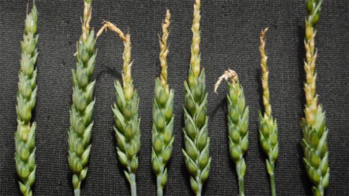 Dégâts de gel sur blé en cours de montaison