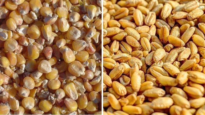 grains de mais et de blé