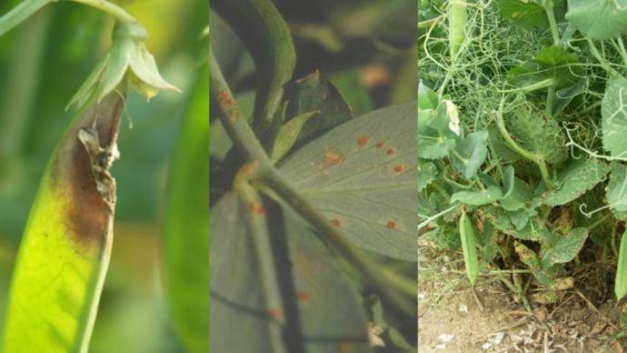 Maladies sur pois d'hiver: de gauche à droite, botrytis, rouille du pois et ascochytose