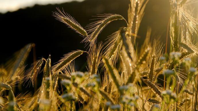 FranceAgriMer a revu à la hausse les stocks finaux des principales céréales, à l'exception du maïs dont le stock est historiquement bas.