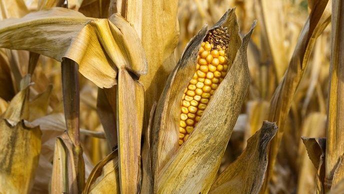 Le débouché des biocarburants s'obscurcit pour le maïs américain, après une décision en faveur des raffineurs.