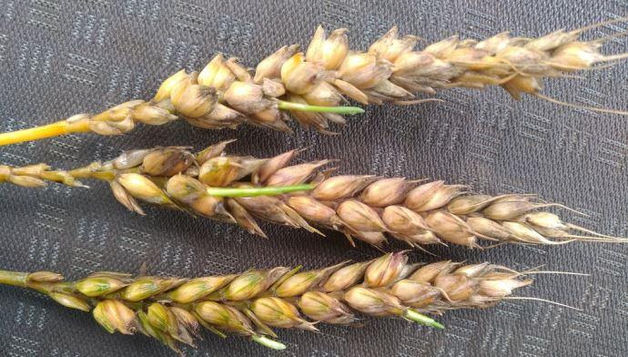 Grains de blé germés sur pied