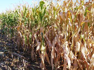 La météo continue de faire la pluie et le beau temps sur les récoltes, les semis et les marchés