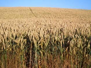 Production mondiale de céréales + 333 Mt, échanges mondiaux + 36 Mt