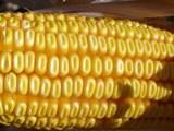 Evolution attendue à la baisse pour les cours du maïs