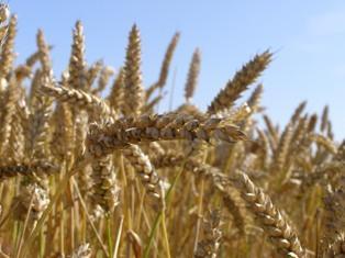« La situation sur le marché physique du blé devrait être très tendue dès la fin janvier »