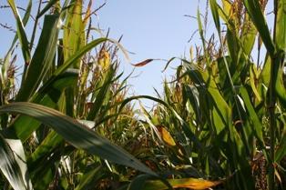 119 millions de tonnes de maïs destinées à l'éthanol