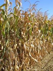 Maïs et blé soutenus par le temps sec en Argentine