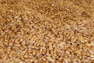La production de grains kazakh attendue sur des niveaux records