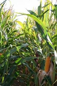 2011, année de référence pour le maïs français