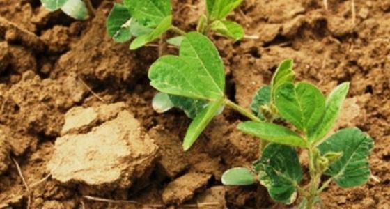 Le tourteau de soja peut repartir à la hausse sans atteindre des sommets