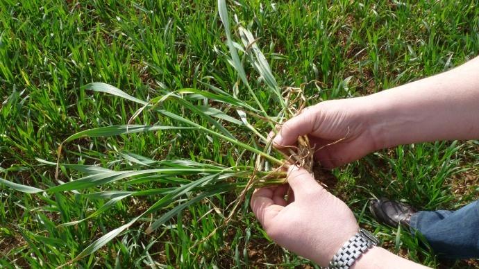 « Les blés hybrides en terres médiocres pour des semis précoces »