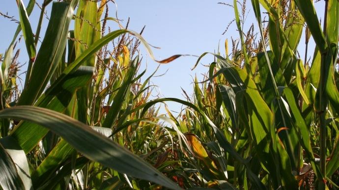 L'interdiction de cultiver le maïs transgénique Mon810 de Monsanto suspendue