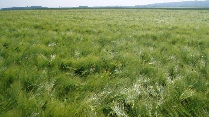 Collecte d'orges d'hiver en hausse, mais forte chute des variétés de printemps