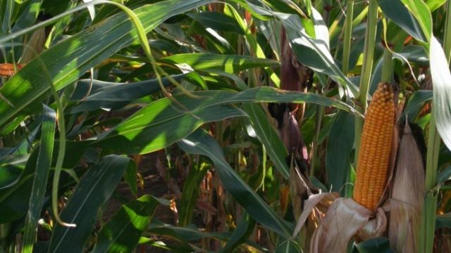 La moisson fait baisser les prix du maïs et du soja