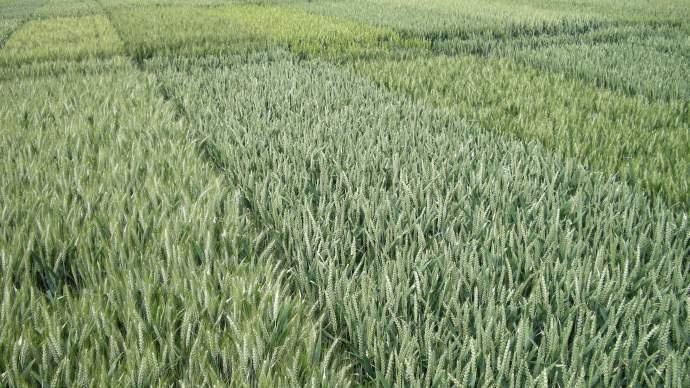 Essais de variétés de blé tendre.
