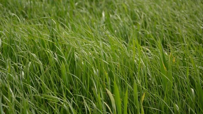 Ray-grass dans le blé
