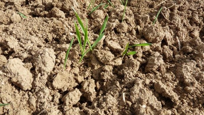 Les résultats 2013 des essais de variétés de blé dur