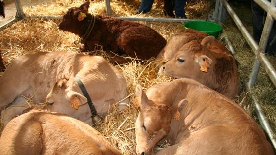 Nouveau recul des exportations de bovins vifs et déficit accru de viandes