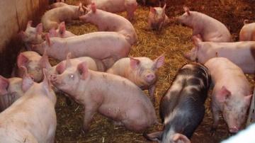 L'embargo russe sur le porc européen : une bombe à retardement ?